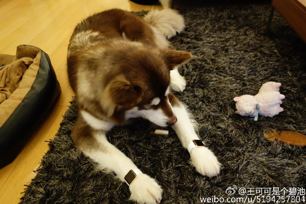 Китайский богач купил своей собаке две пары Apple Watch Edition